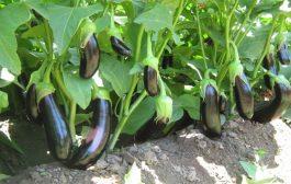 Patlıcan ve faydaları