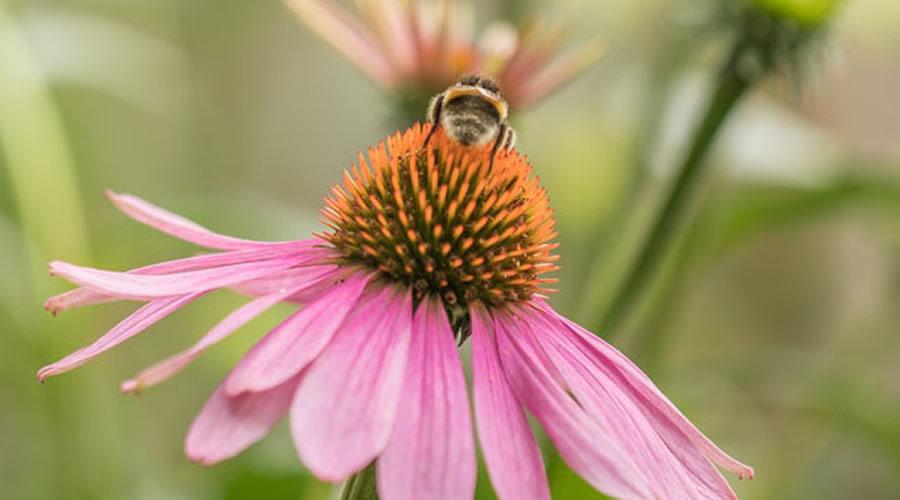 Echinacea - Ekinezya Çiçeğinin Antibiyotik Etkisi