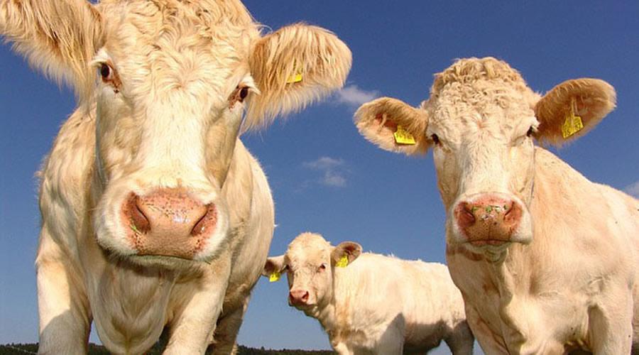 Hayvanlar da Antibiyotiklerin Aşırı Kullanımı